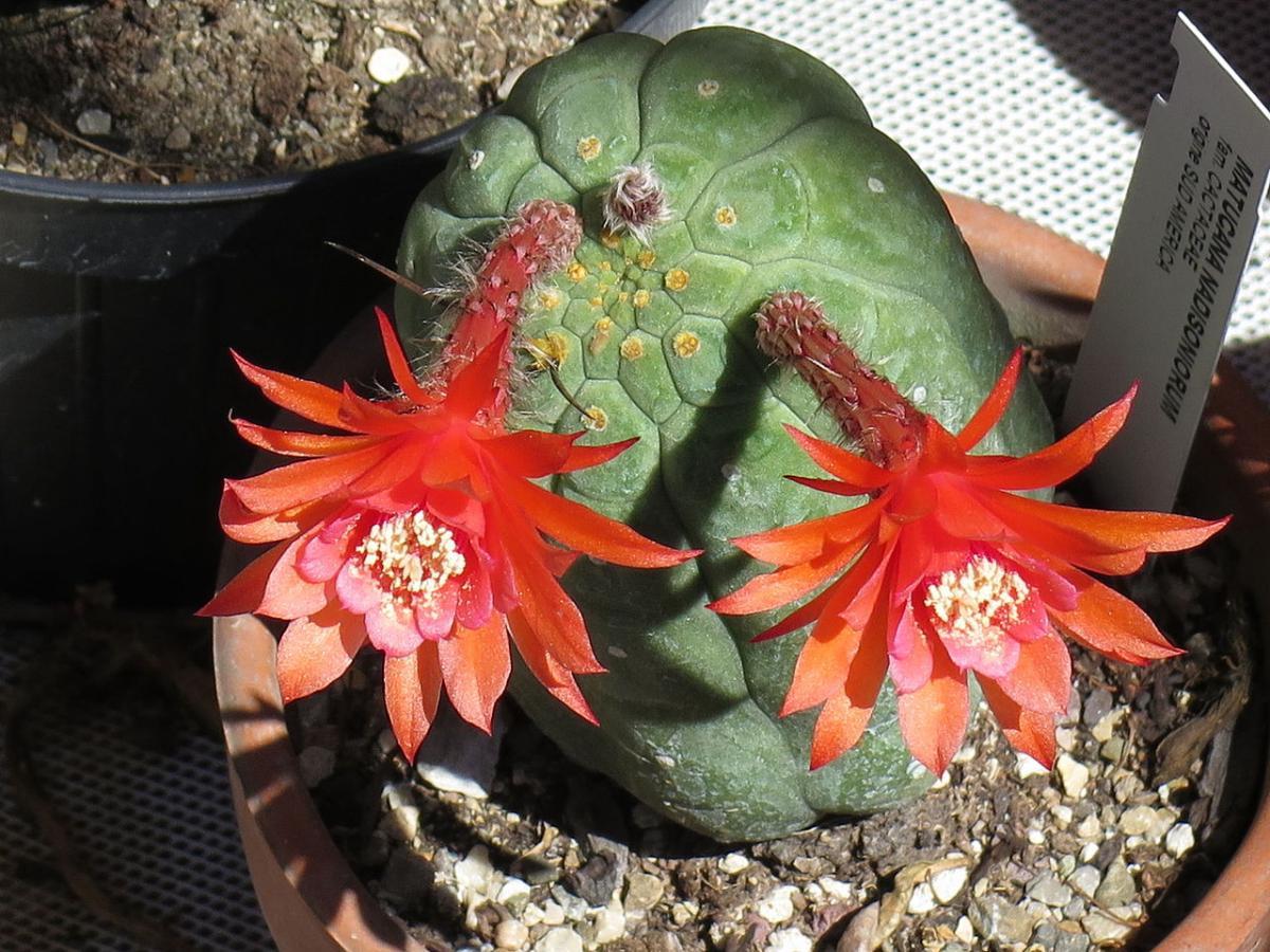 La Matucana madisoniorum es un cactus de lento crecimiento