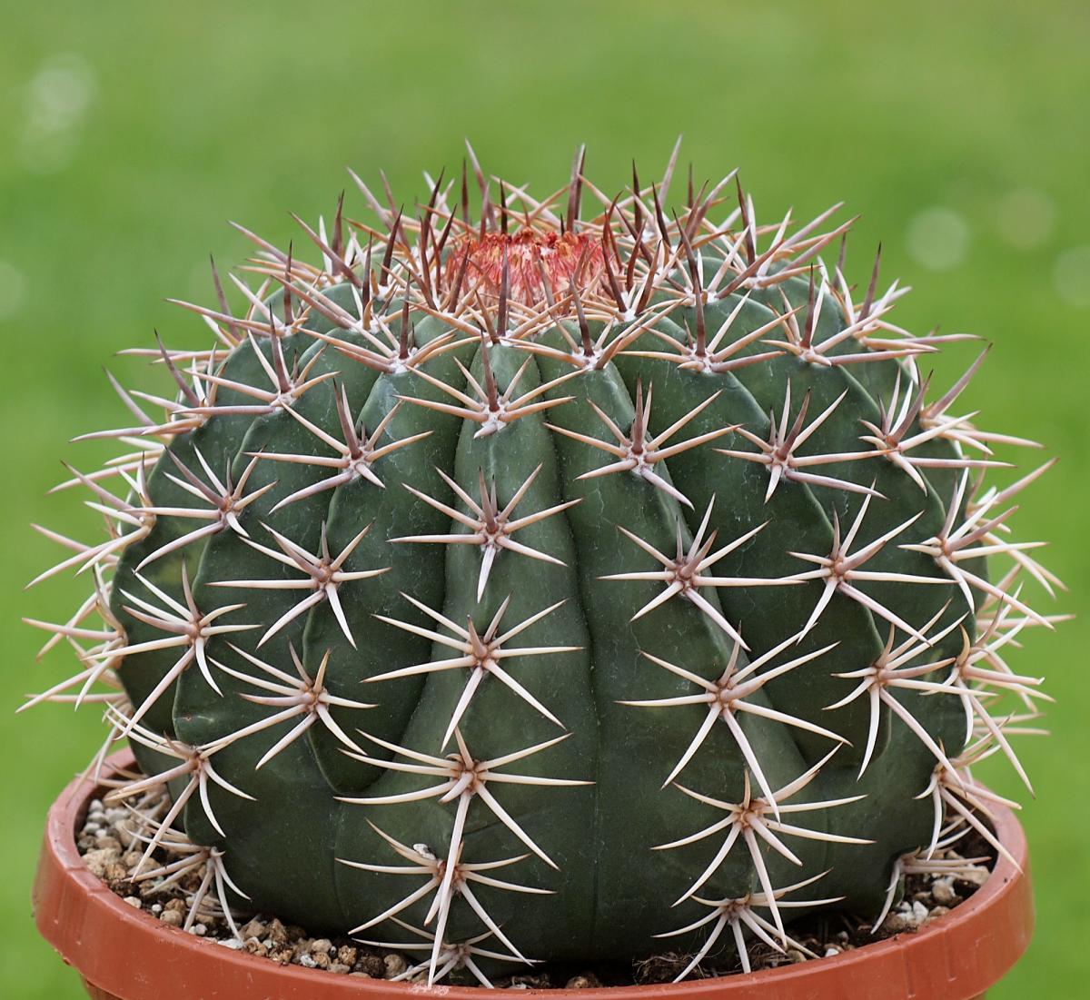 Vista del Melocactus conoideus