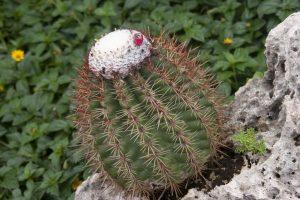 El Melocactus es un cactus de crecimiento lento