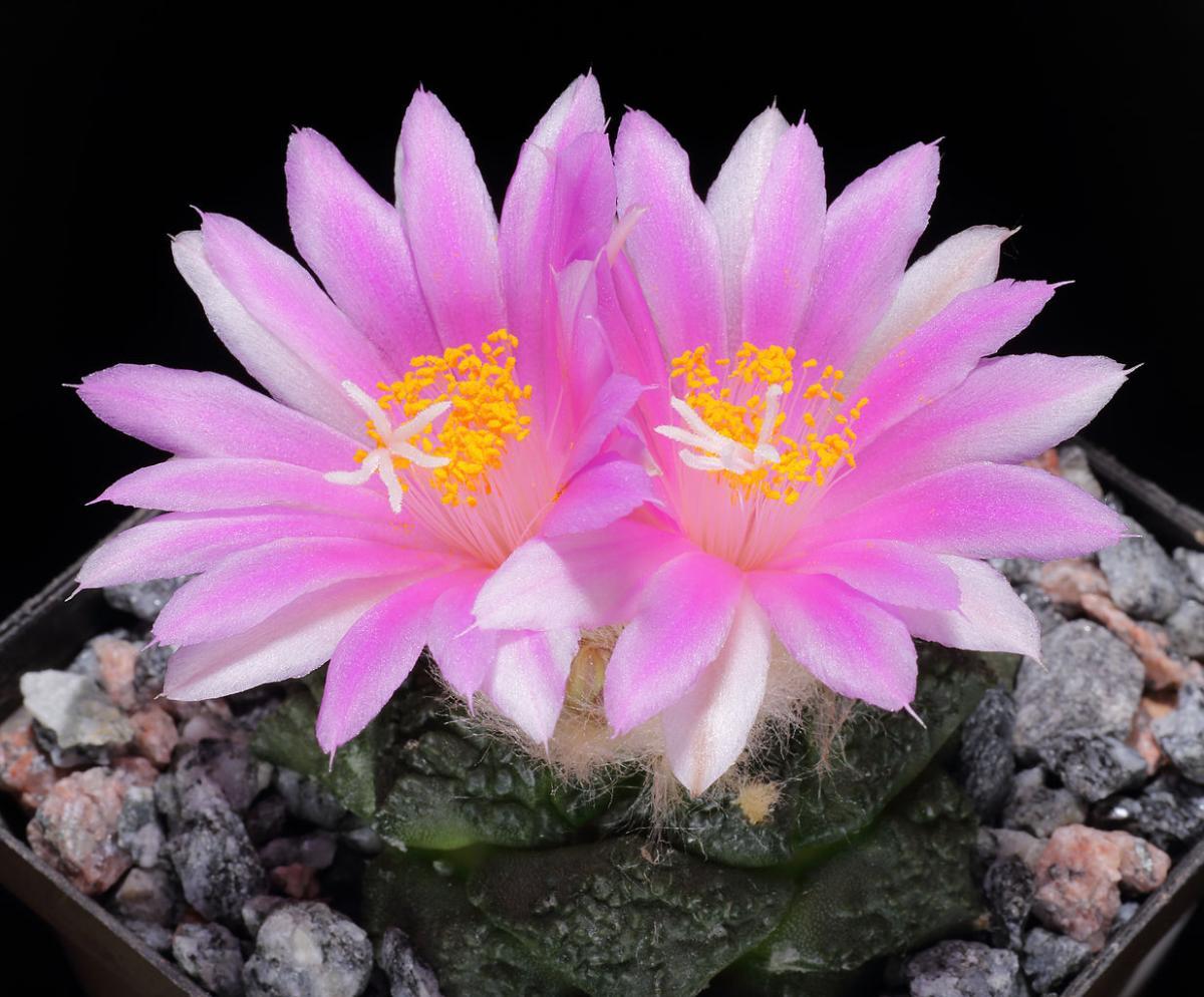 El Ariocarpus produce flores preciosas