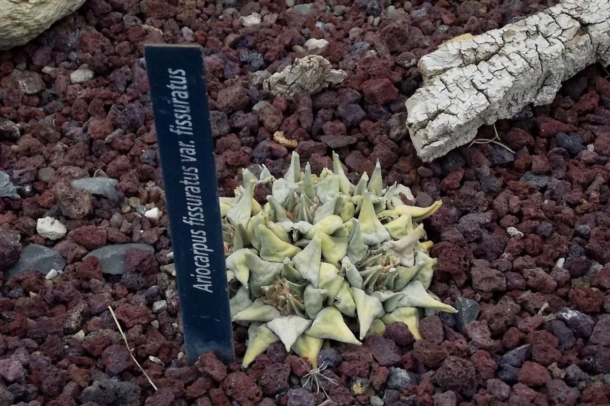 El Ariocarpus fissuratus es una especie mexicana