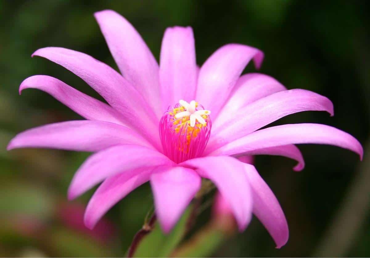 La Hatiora es un cactus colgante