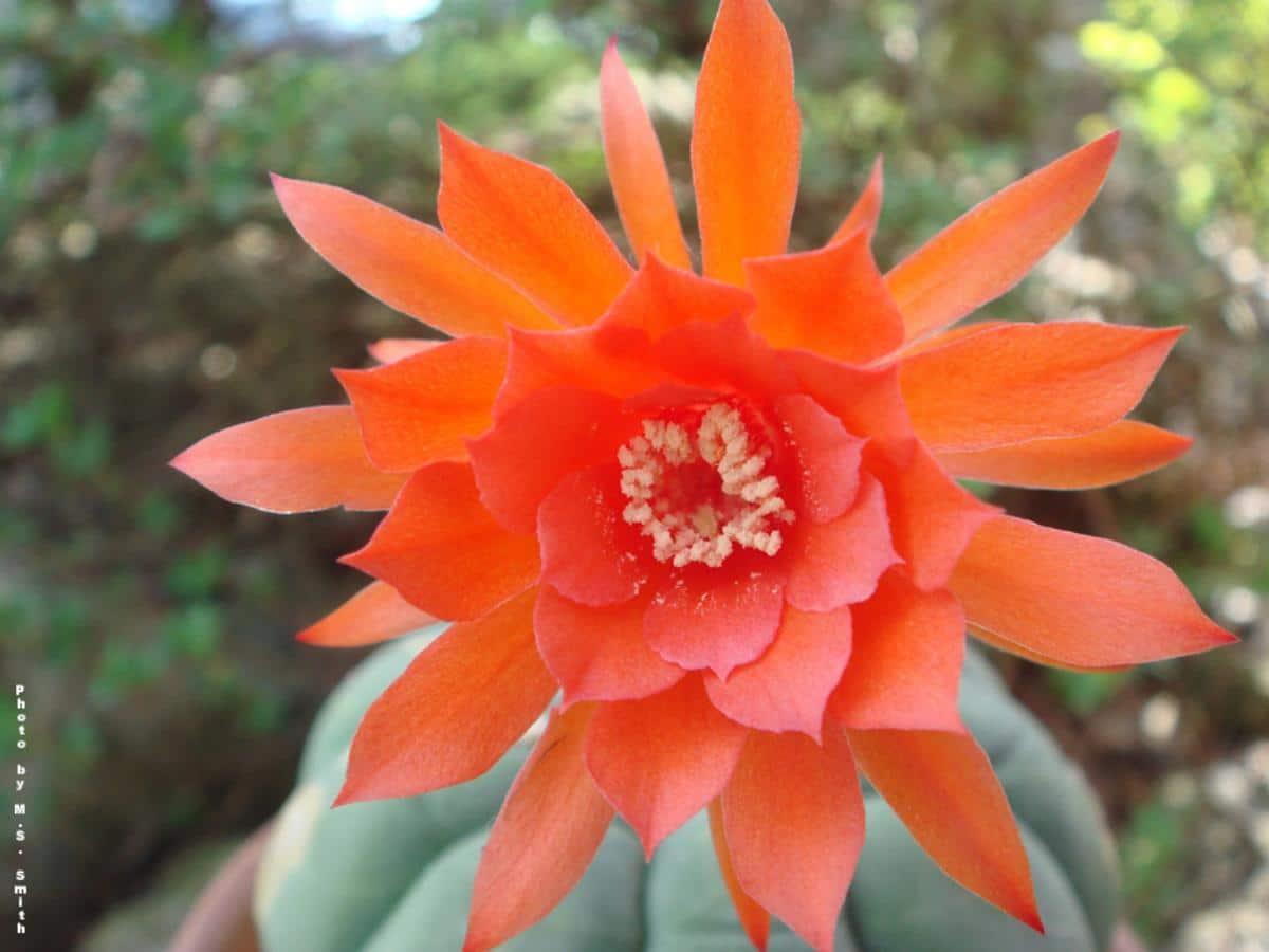 Las flores de la Matucana madisoniorum son rojizas