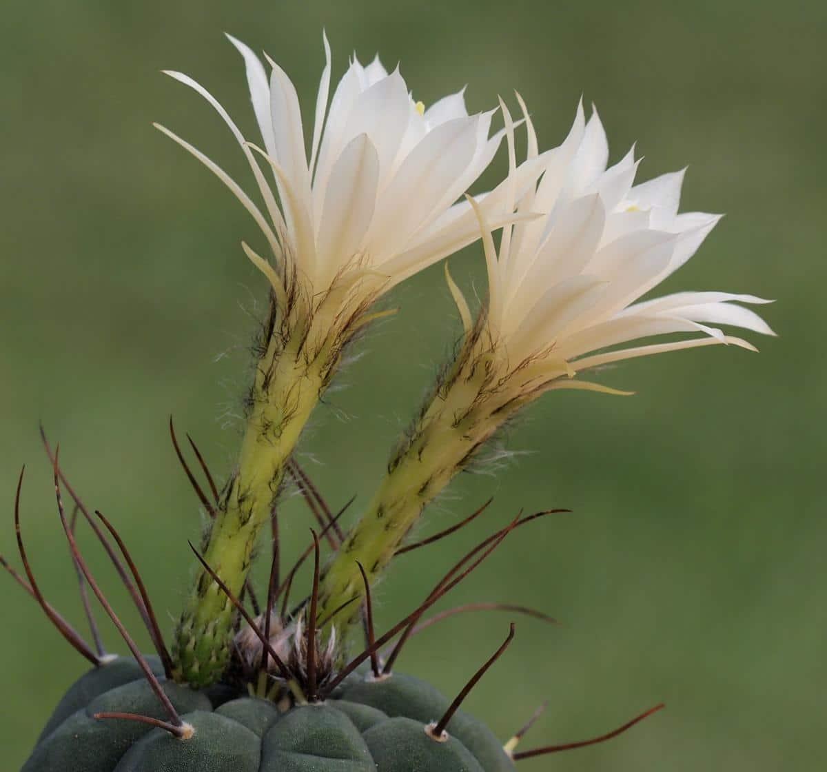 La Matucana madisoniorum puede dar flores blancas