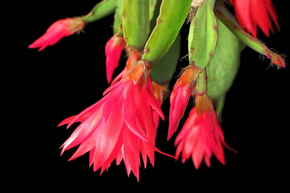 Las flores de la Hatiora gaertneri aparecen en primavera