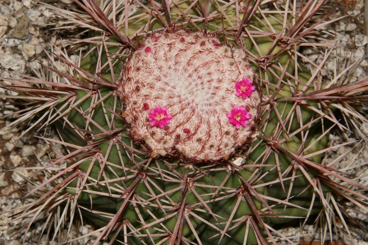 El Melocactus bahiensis es endémico de Brasil