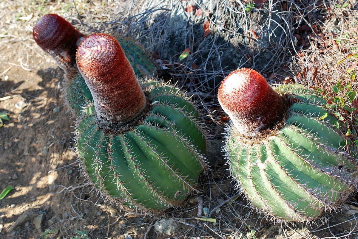 Los Melocactus son cactus de lento crecimiento