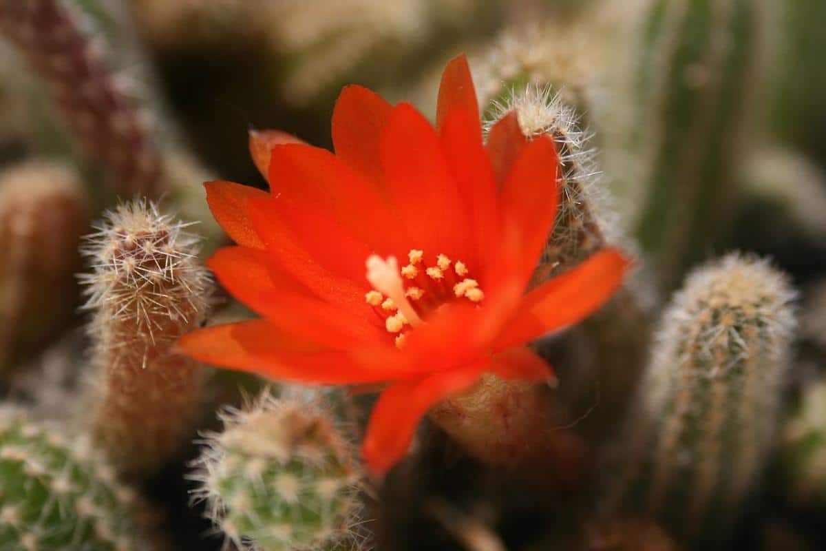 Las flores del Echinopsis chamaecereus son rojas