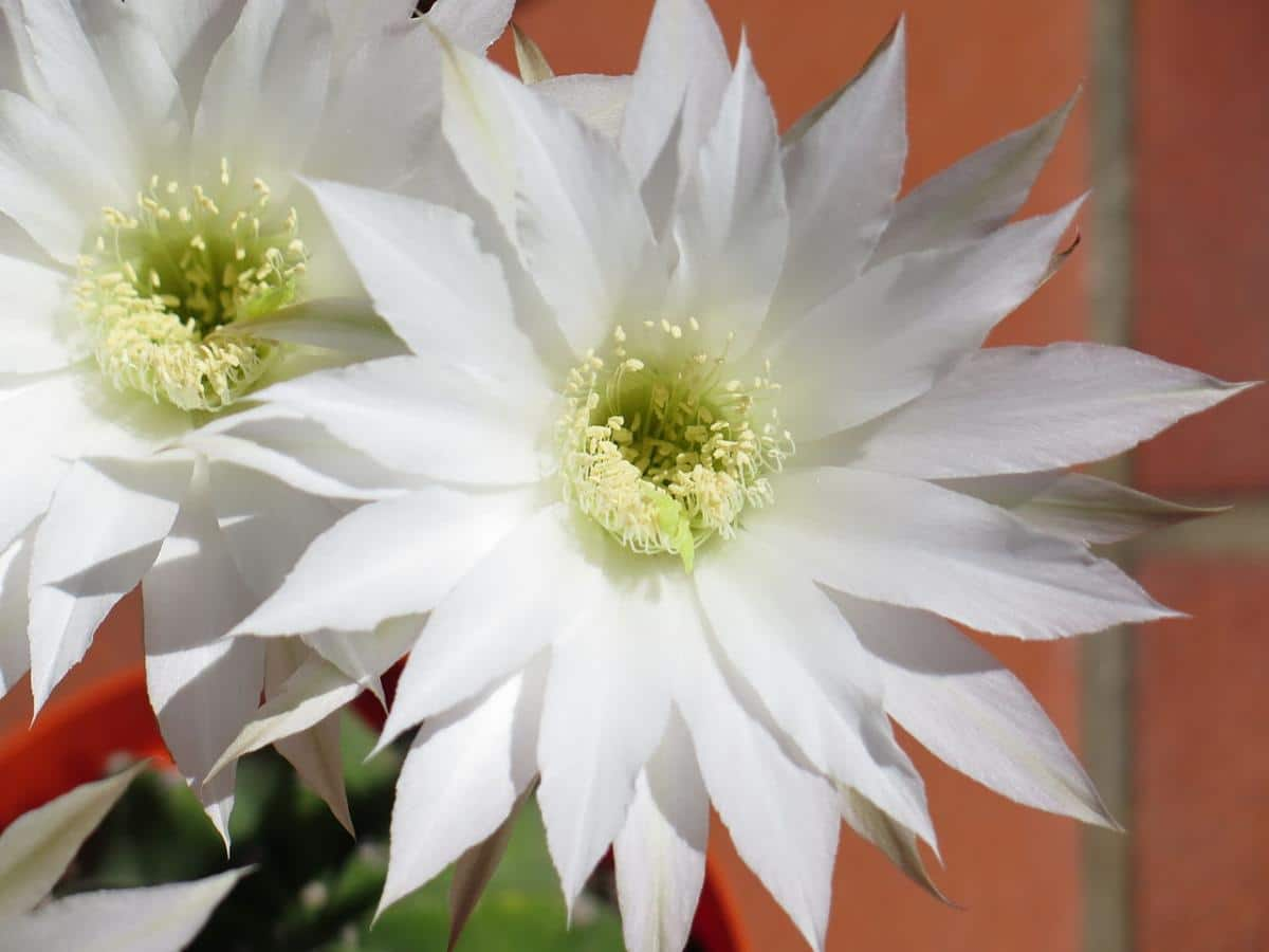 El Echinopsis subdenudata florece en primavera