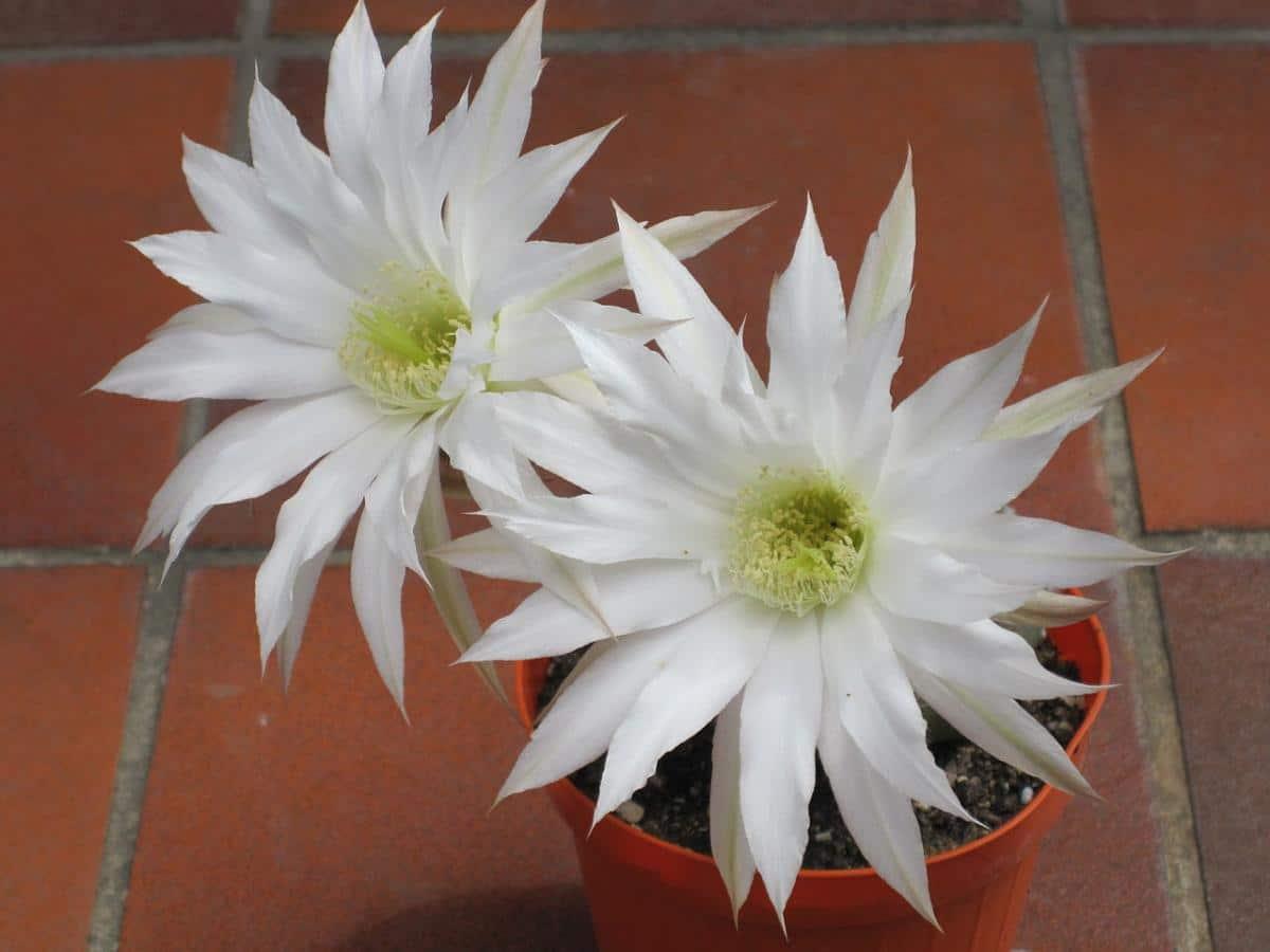 Las flores del Echinopsis subdenudata son blancas