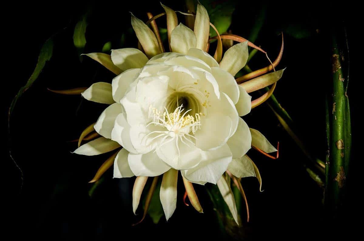 El Epiphyllum oxypetalum es un cactus epífito