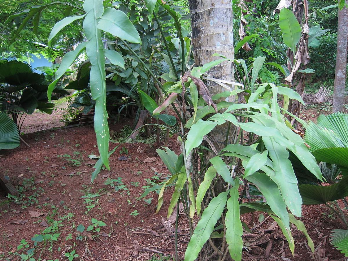 El Epiphyllum oxypetalum es un cactus tropical
