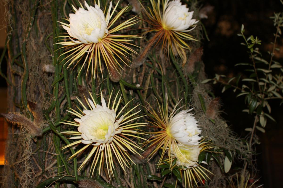 Las flores del Selenicereus grandiflorus son blancas