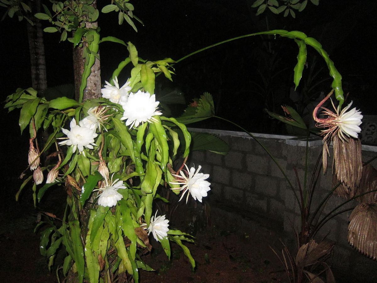 El Epiphyllum oxypetalum produce flores blancas