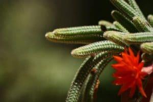 El Echinopsis chamaecereus produce flores rojas