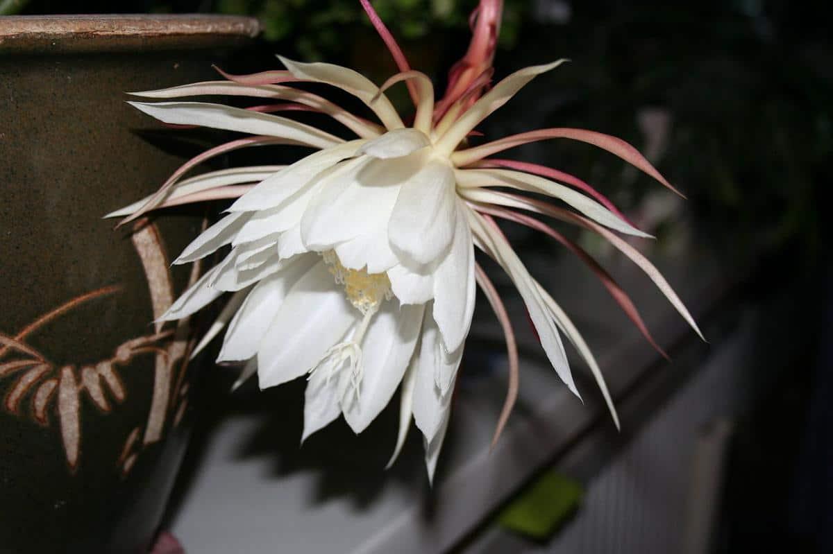 La flor del Epiphyllum oxypetalum es grande y blanca