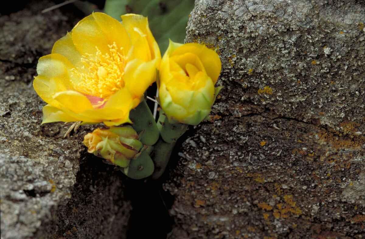 La Opuntia humifusa es un cactus grande