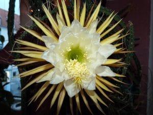 El Selenicereus grandiflorus es un cactus epífito