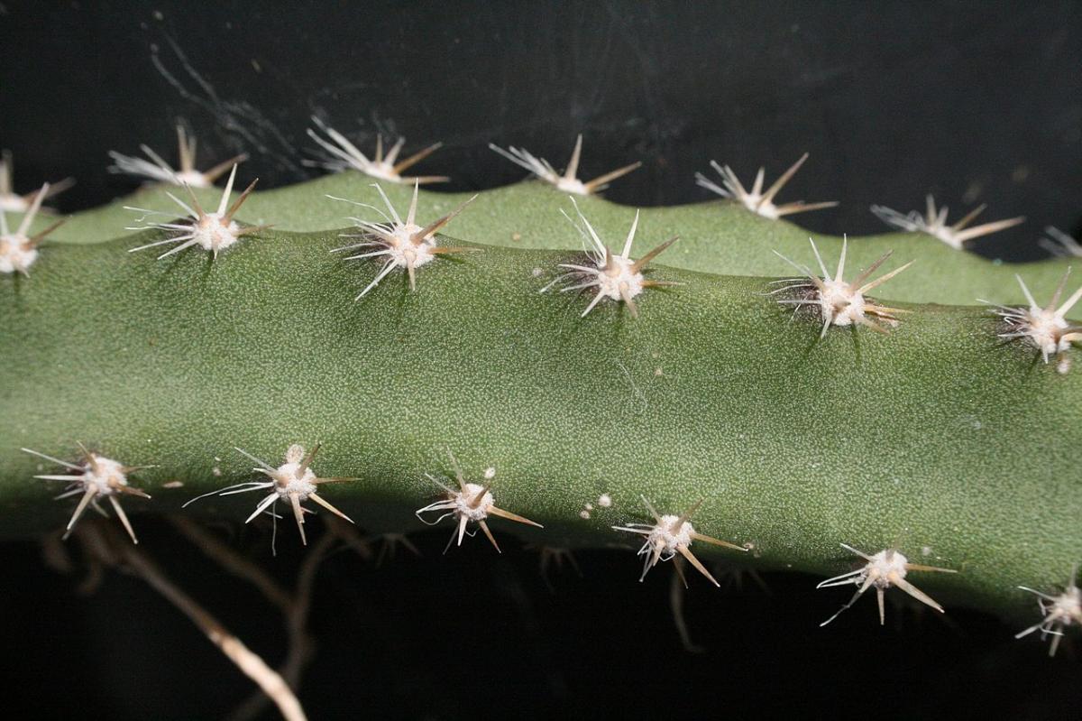 El tallo de selenicereus es espinoso