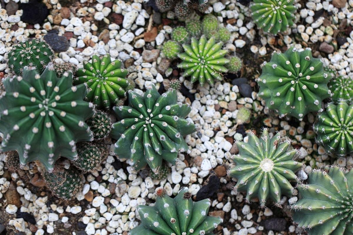 El Echinopsis eyriesii queda muy bien en grupos