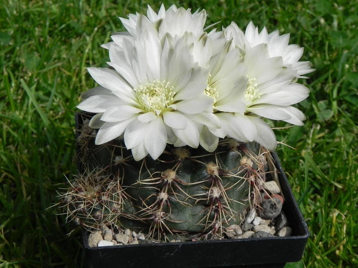 El Gymnocalycium altagraciense es un cactus de flores blancas