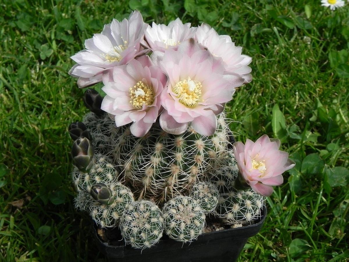 El Gymnocalycium bruchii es una especie de flores rosas