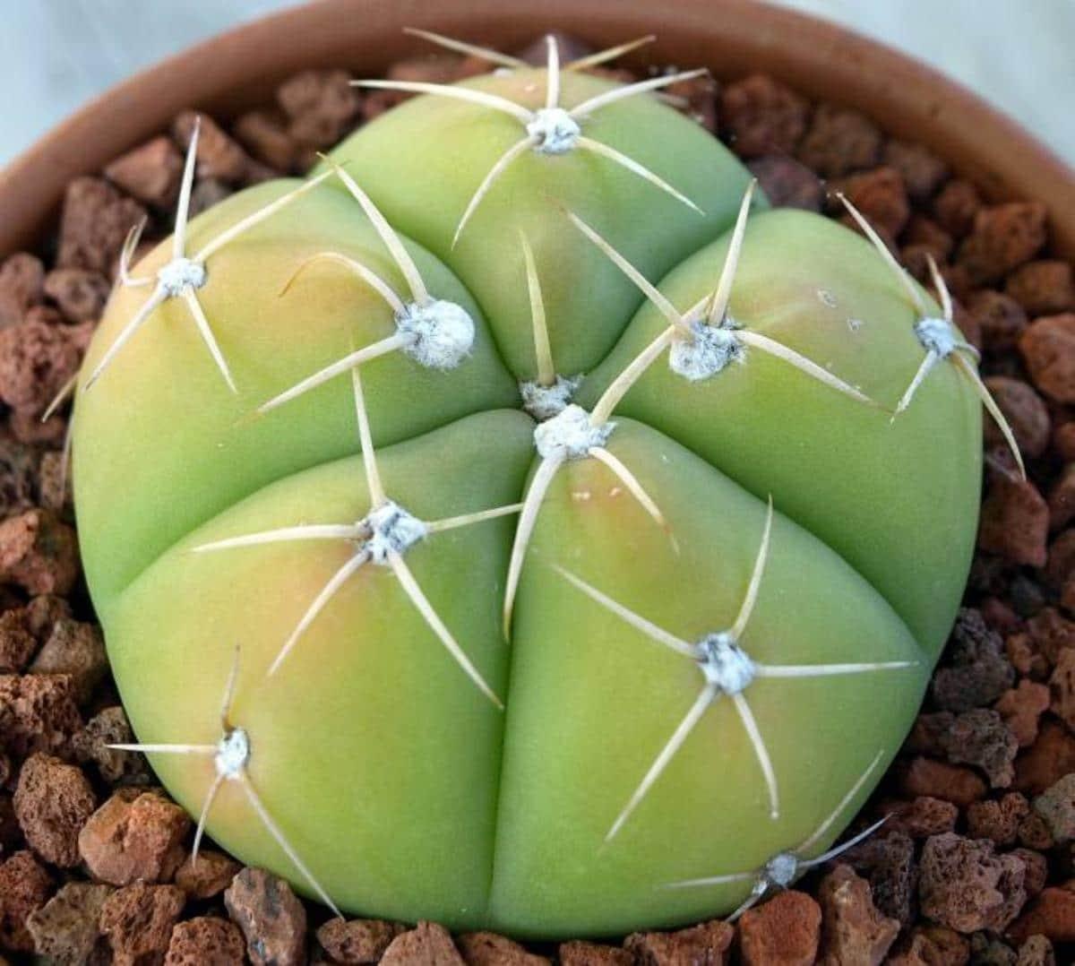 El Gymnocalycium horstii es una especie de cactus de pocas costillas