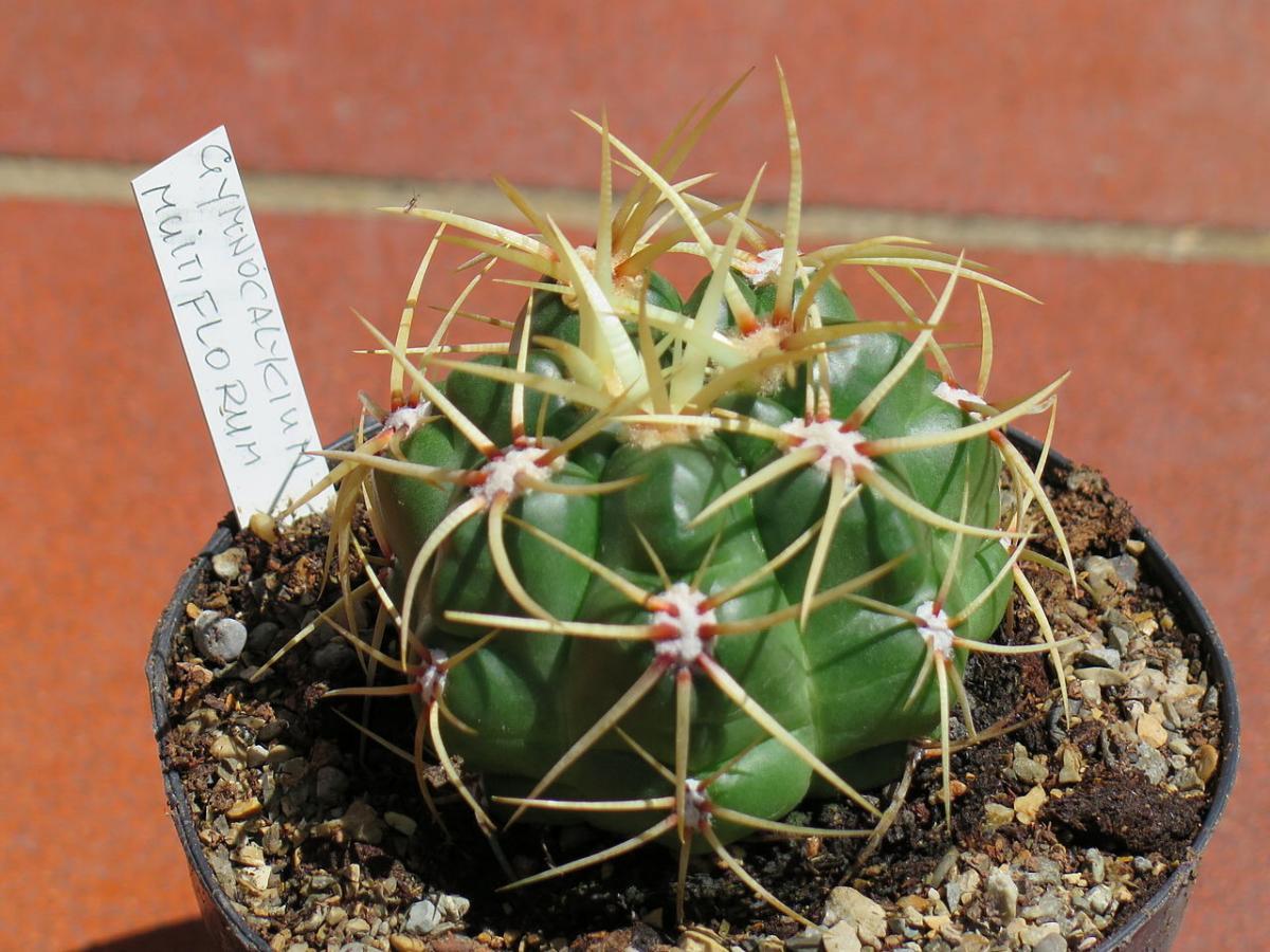 El Gymnocalycium es un género de cactus globular