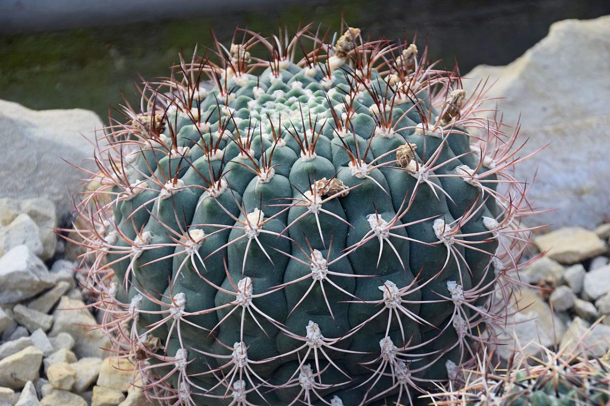 El Gymnocalycium saglionis es un cactus grande
