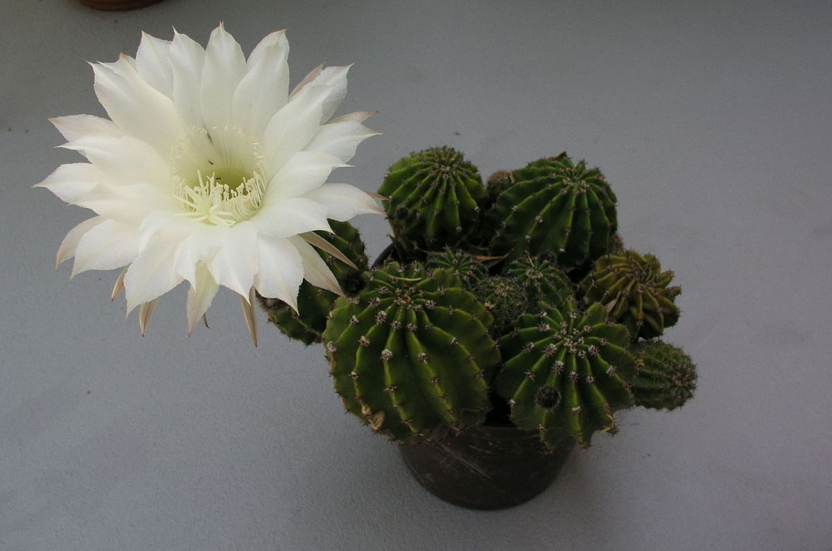El Echinopsis eyriesii puede dar flores blancas