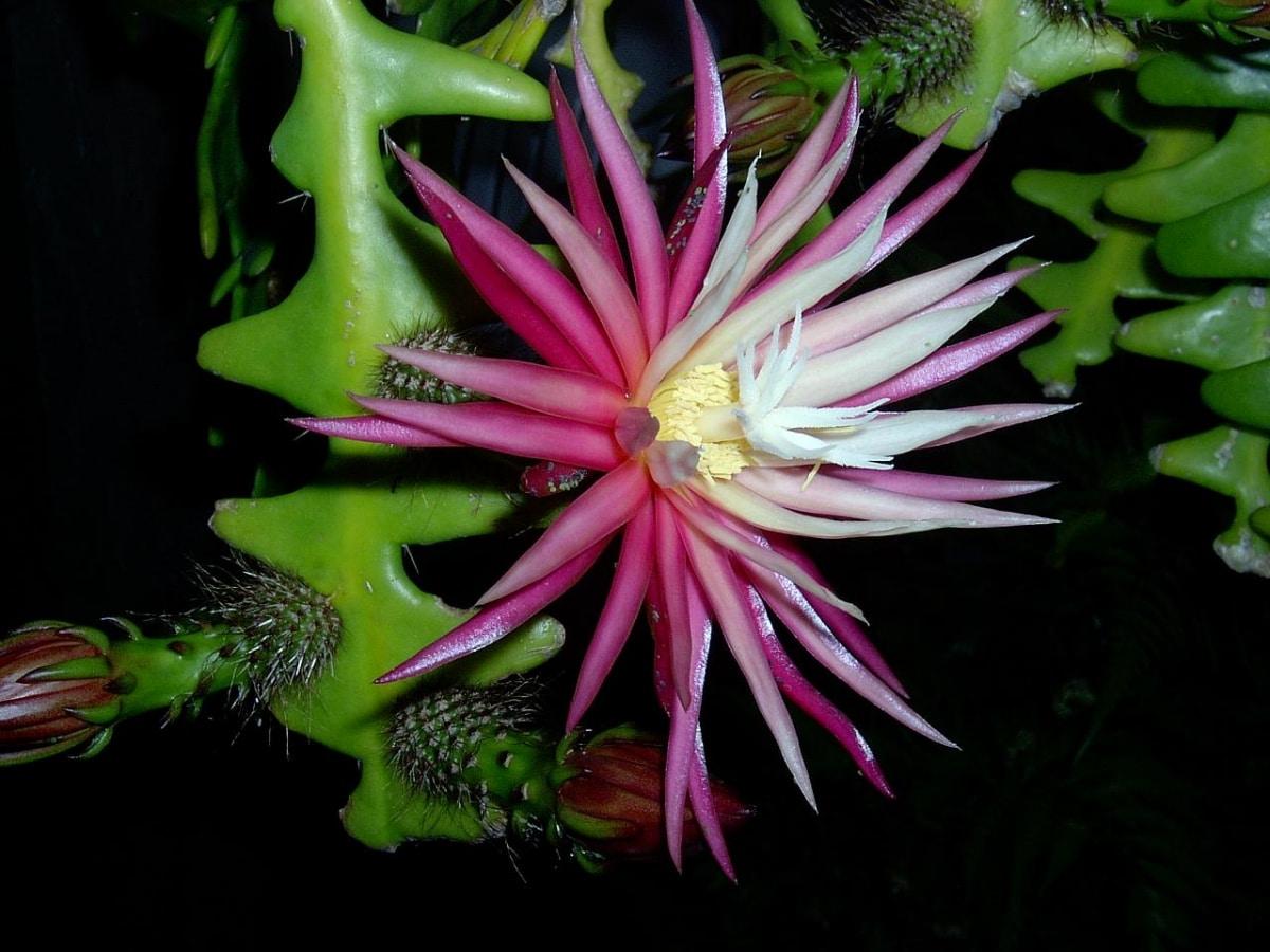 El cactus reina de la noche es trepador