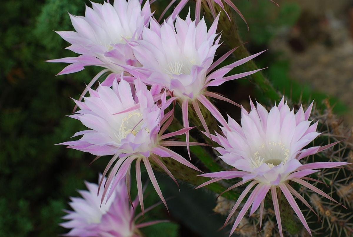 Las flores del Echinopsis eyriesii son blancas o rosadas