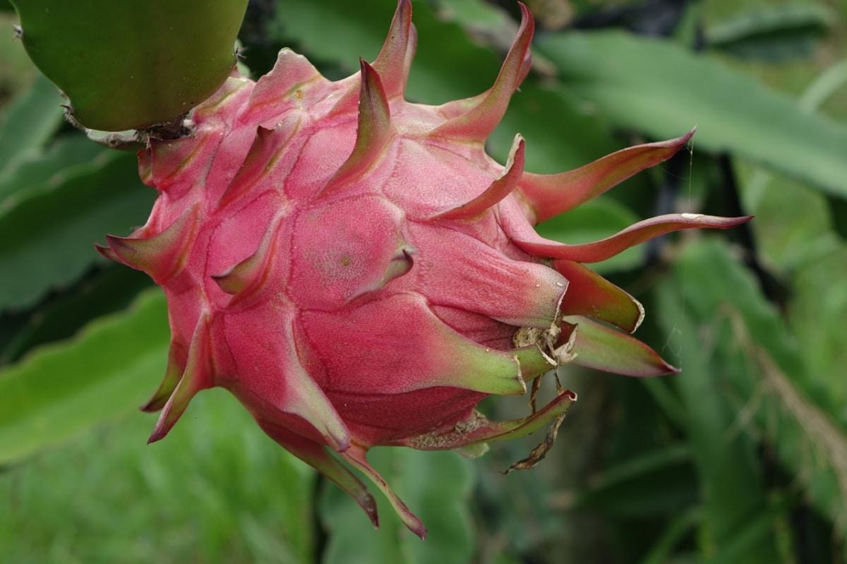 El Hylocereus undatus es un cactus colgante