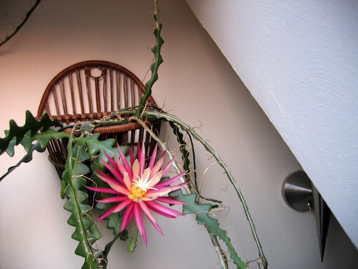 El Selenicereus anthonyanus da flores muy bonitas