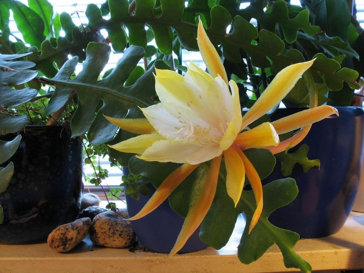 El Epiphyllum es una planta que produce flores grandes