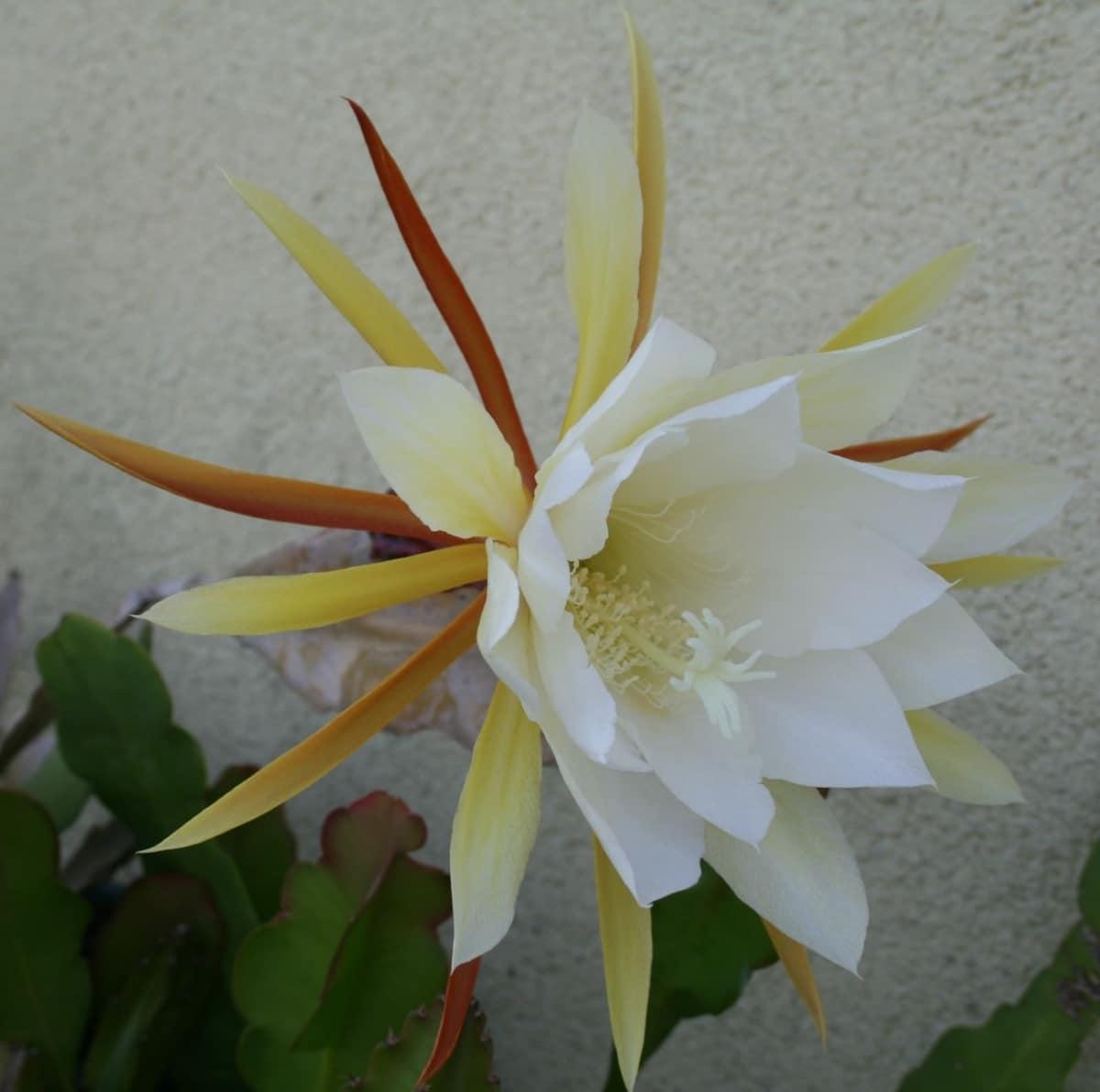El Epiphyllum es una planta conocida como dama de noche