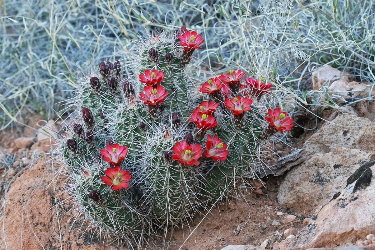 Los Echinocereus son cactus que forman grupos