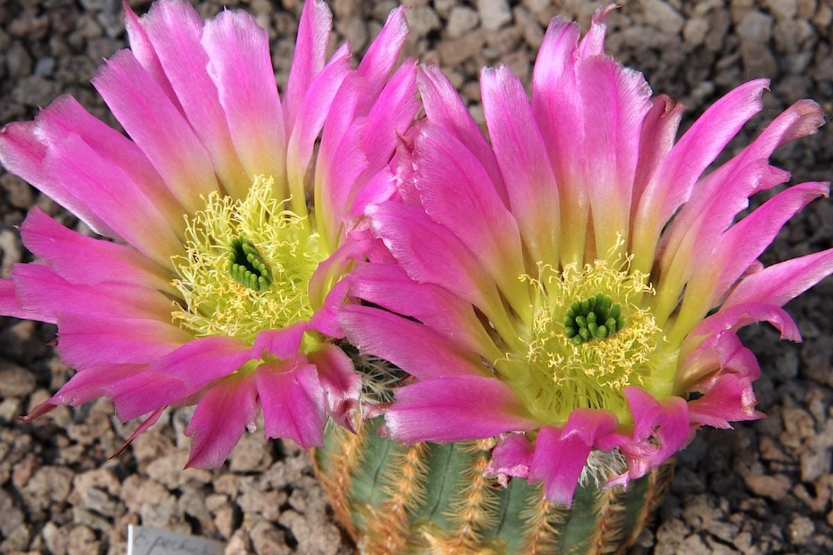 Los Echinocereus producen flores grandes