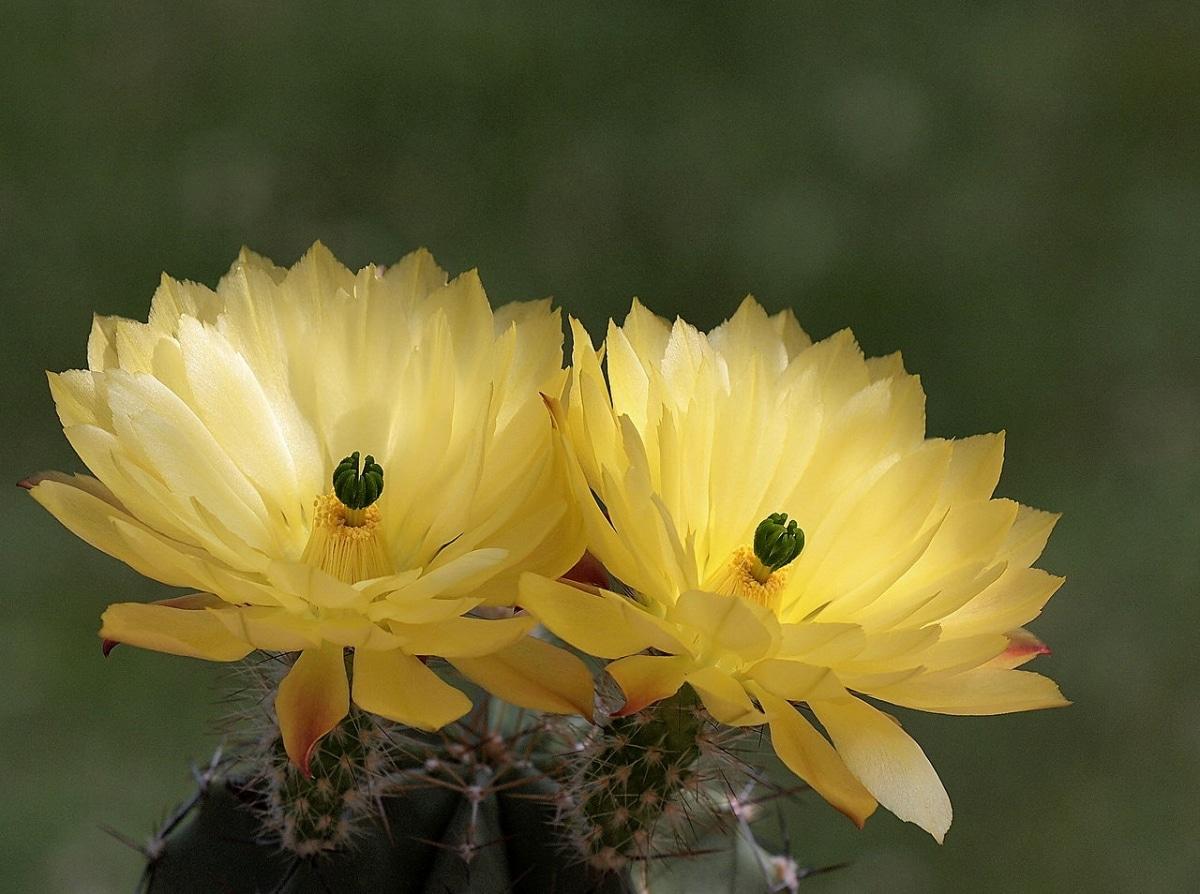 Los Echinocereus subinermis son cactus de flores amarillas