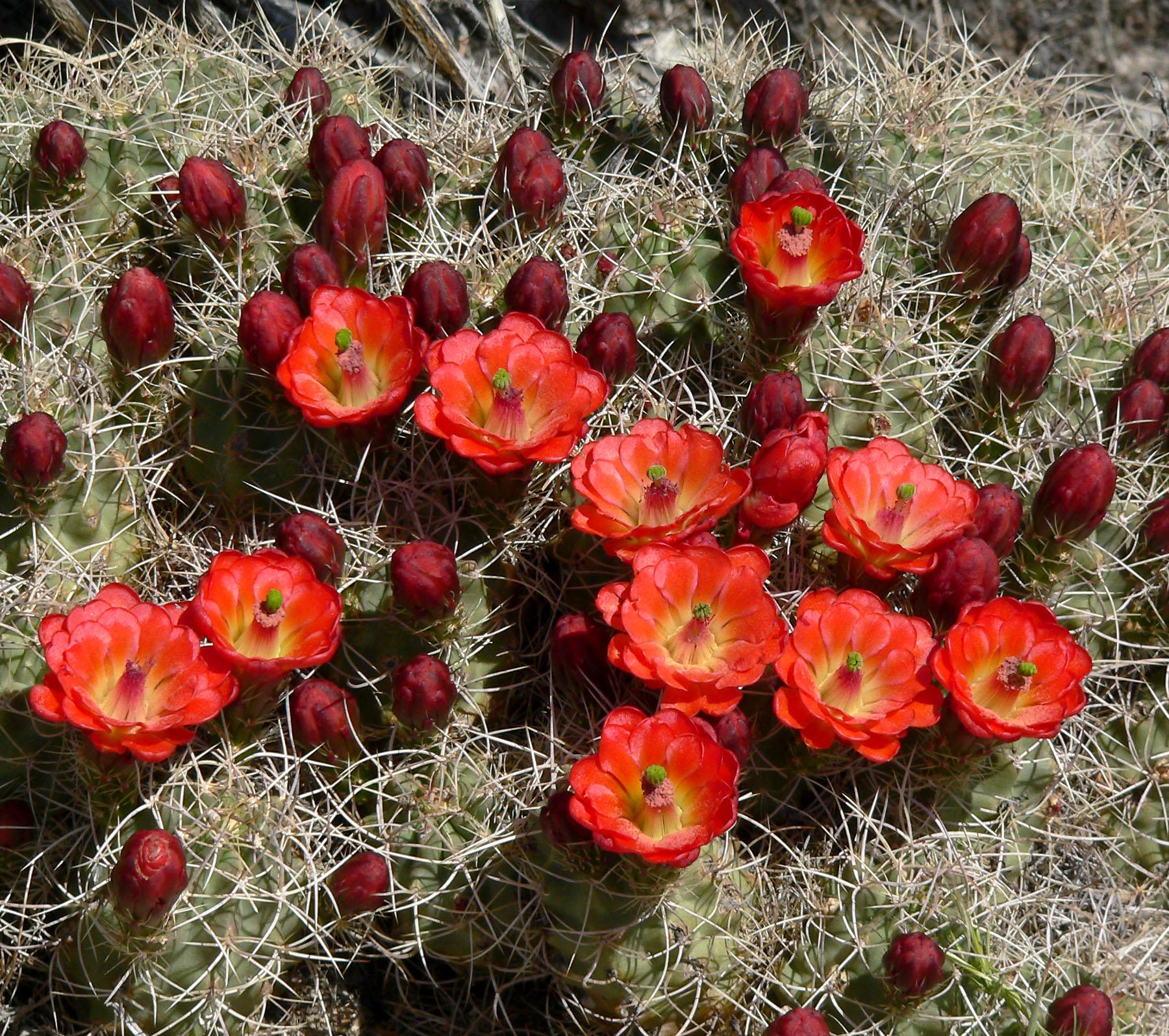 Las flores de los Echinocereus son de varios colores
