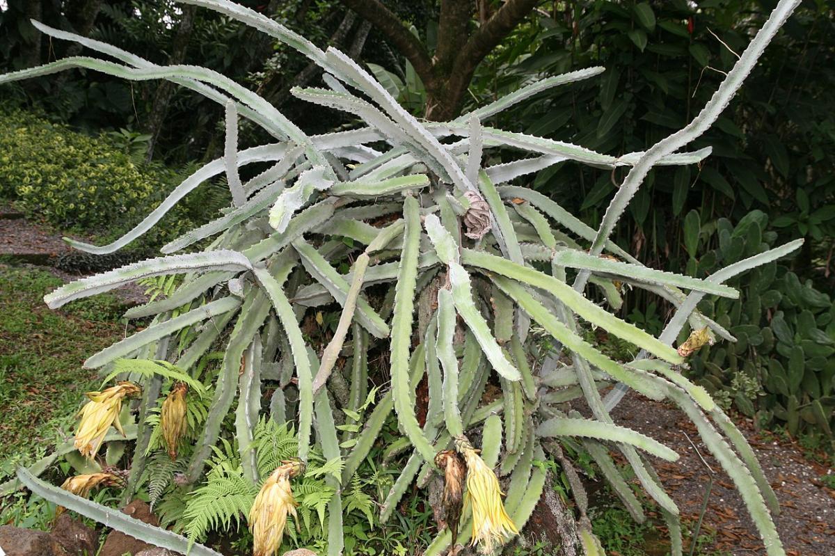 El Hylocereus costaricensis es un cactus hemiepífito