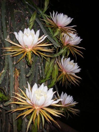 El Hylocereus monacanthus es un cactus de flores blancas