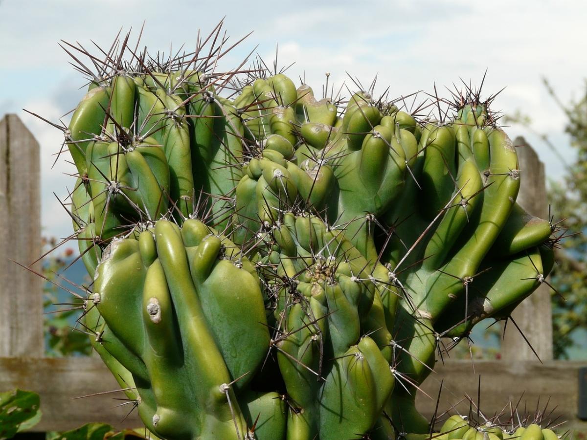 El Cereus peruvianus es un cactus columnar