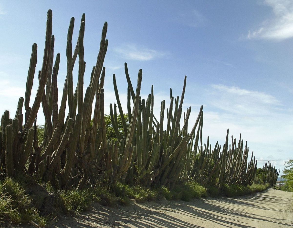 El Cereus peruvianus es un cactus grande