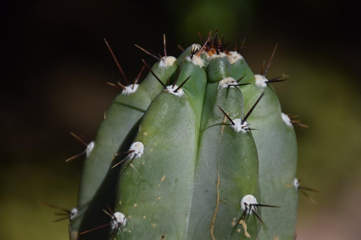 El Cereus peruvianus también se llama cactus ordenador