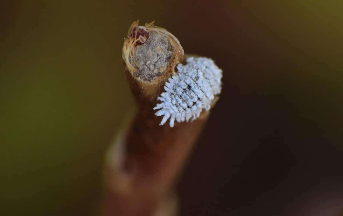 Las cochinillas pueden atacar al Pilosocereus azureus