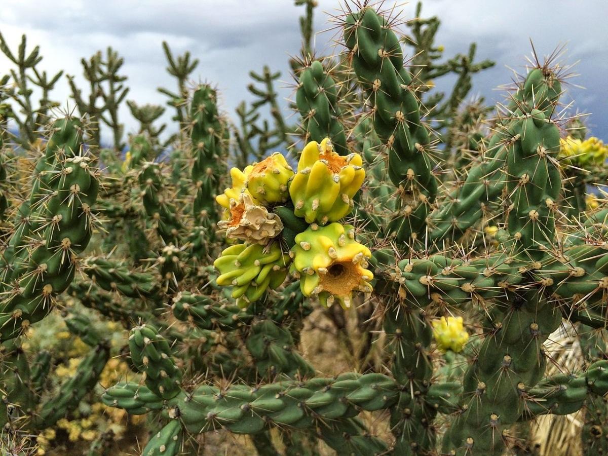 La Cylindropuntia imbricata es un cactus espinoso