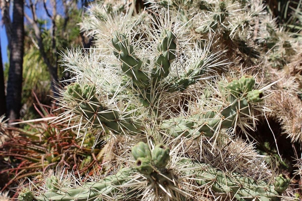 La Cylindropuntia rosea es un cactus invasor
