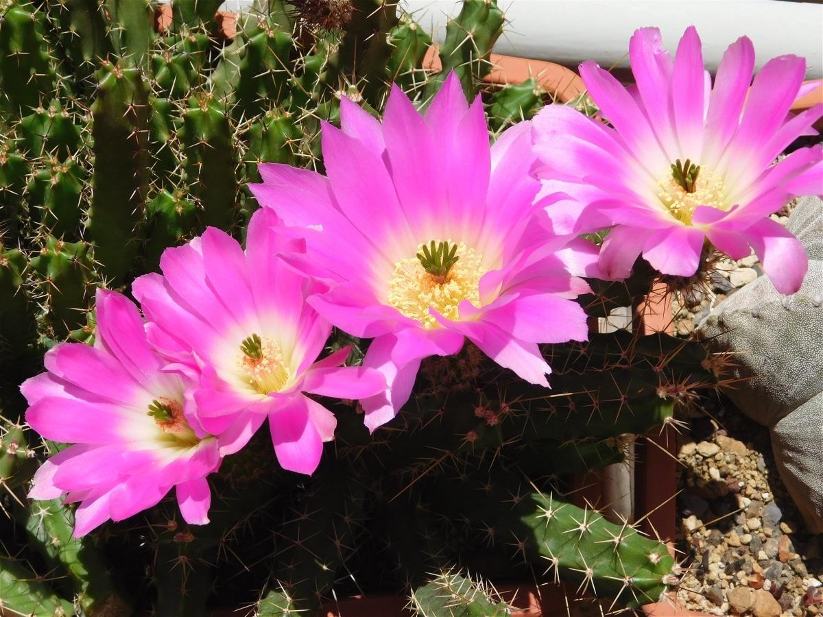 Los Echinocereus son cactus de pequeño porte