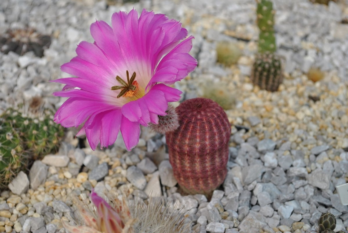 Los Echinocereus son cactus de crecimiento lento
